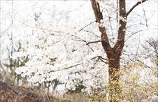 촬영장 벚꽃놀이♥